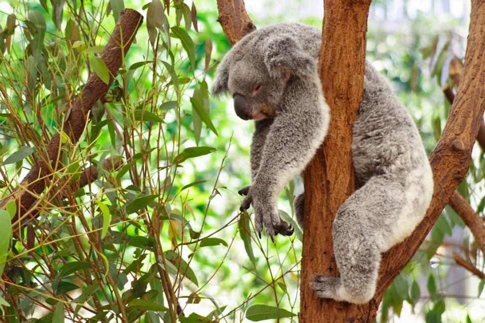 El Blog de Iván Olguín: El koala es el animal más flojo del mundo