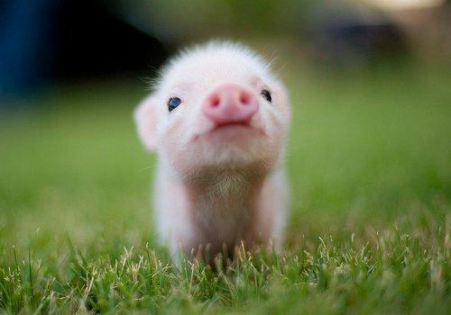 os 7 salmonetes e agora um porco fofinho