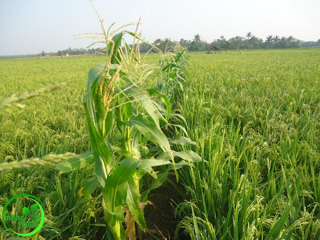 Kenapa kok Seumur jagung bukan seumur padi.