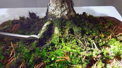 Exceso de humedad y el musgo trepa por tu bonsai