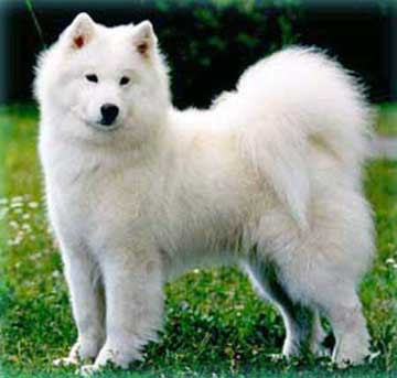 samoyed dog breed puppy pets hound picture