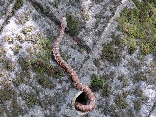 Mamushi snake