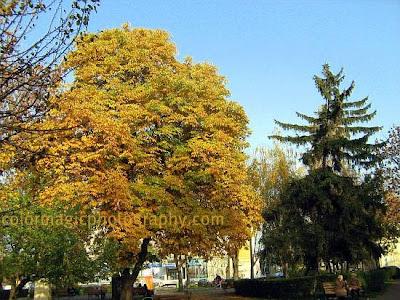 Horse chestnut tree-Aesculus hippocastanum
