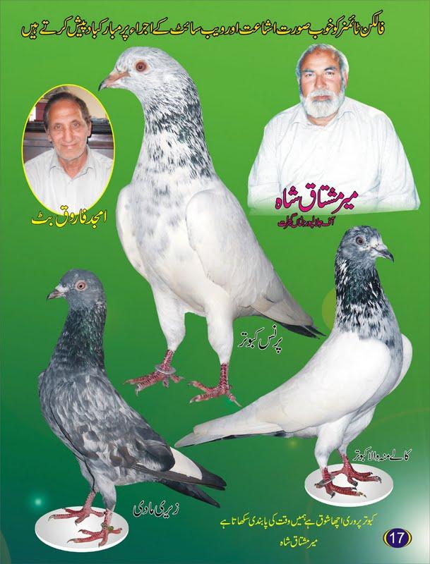 K Magazine Pigeon Pigeons   Kabootar Baa...