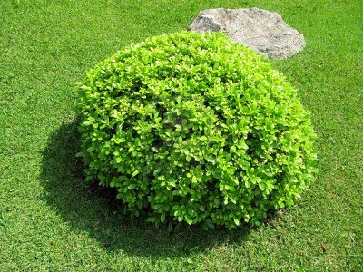 Circles - Arbustos para jardin ...