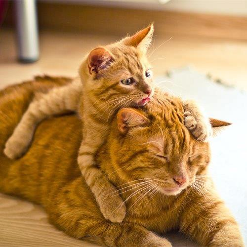 Little kitten teasing mother cat
