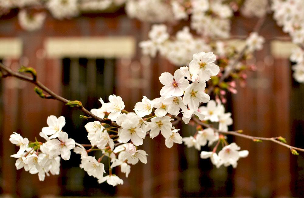 下北沢から歩いて10分くらいのところにある緑道の桜の写真