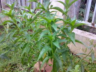 resep obat herbal darah tinggi