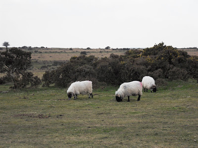 Sheep on Bodmin Moor, Cornwall