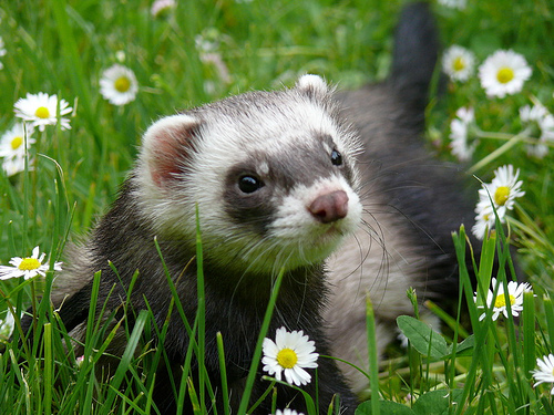 Ferret | Animals Backgrounds