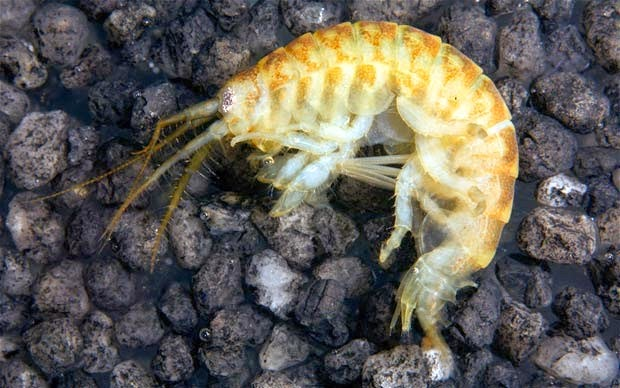 http://www.cbsnews.com/news/killer-shrimp-could-invade-the-great-lakes/