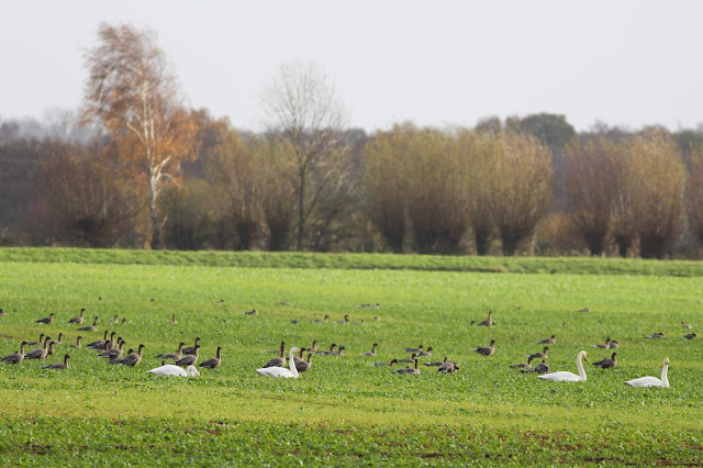 bagginsontheloose, winter, swans, geese, fields