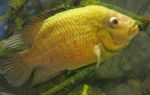 ikan lohan cencu