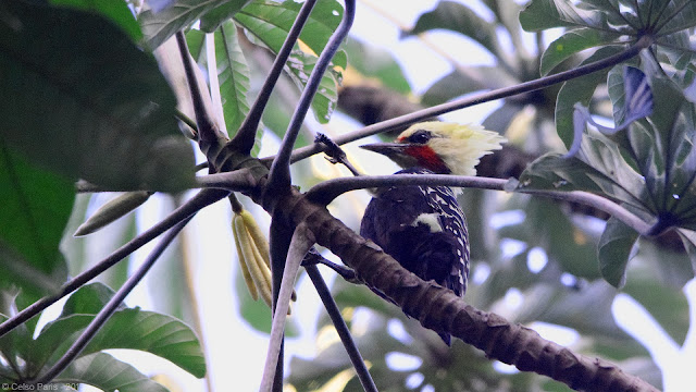 Blond-crested Woodpecker Celeus flavescens flavescens male Pica-pau-louro carpintero amarillento macho
