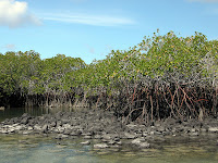 Mangroves and Root System, Isabela Island, Galapagos