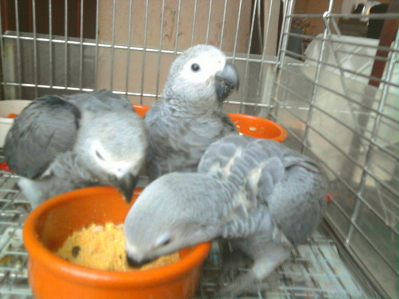 birds for sale in the uk talking congo african grey. Black Bedroom Furniture Sets. Home Design Ideas