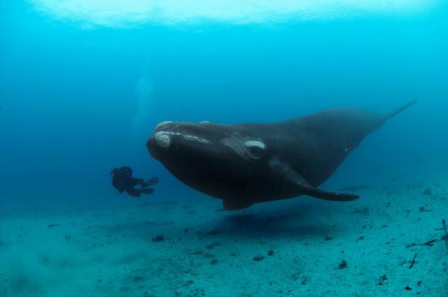 معلومات مذهلة عن الحوت الأزرق العملاق