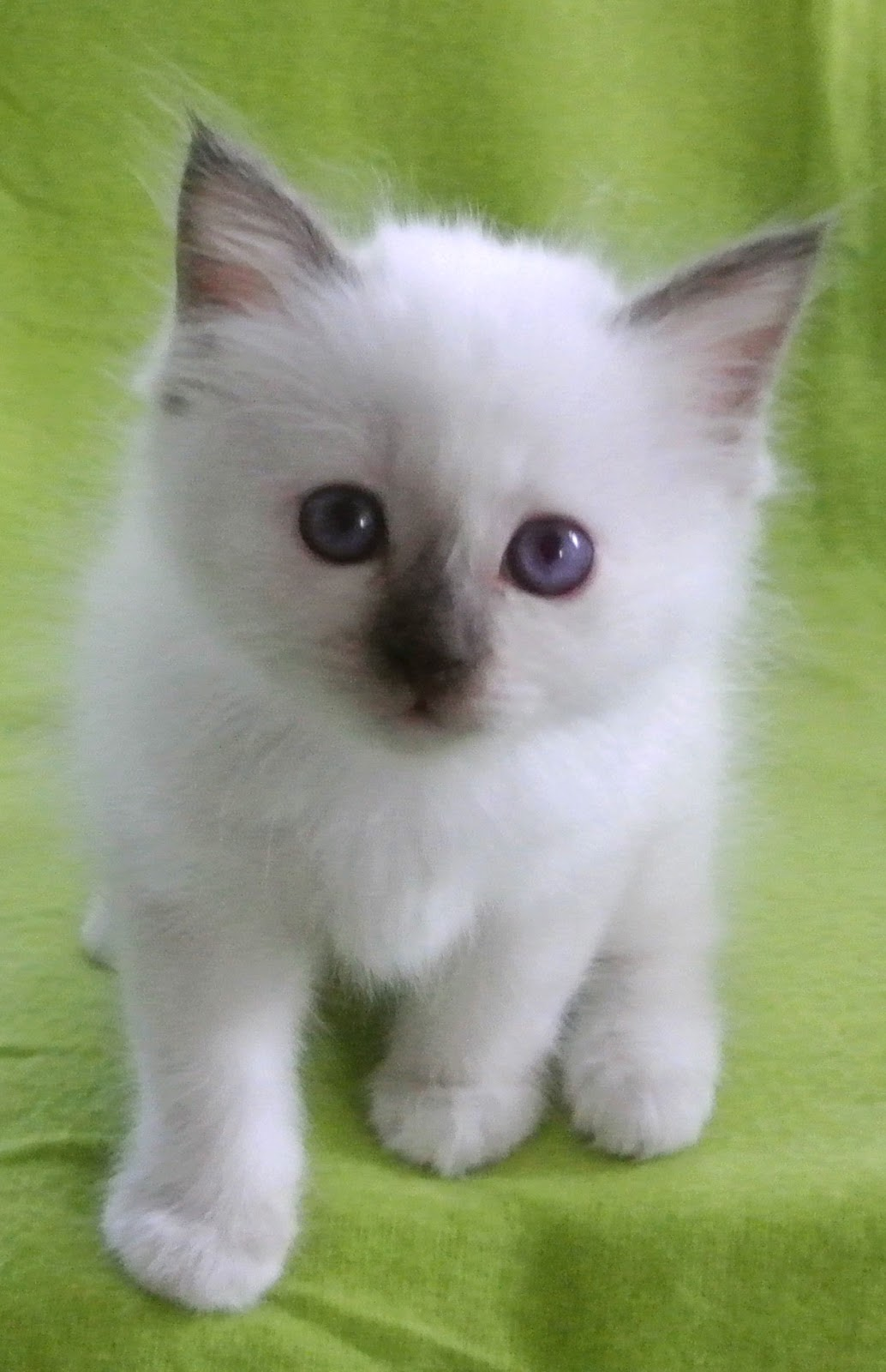 sacred birman chocolate-point