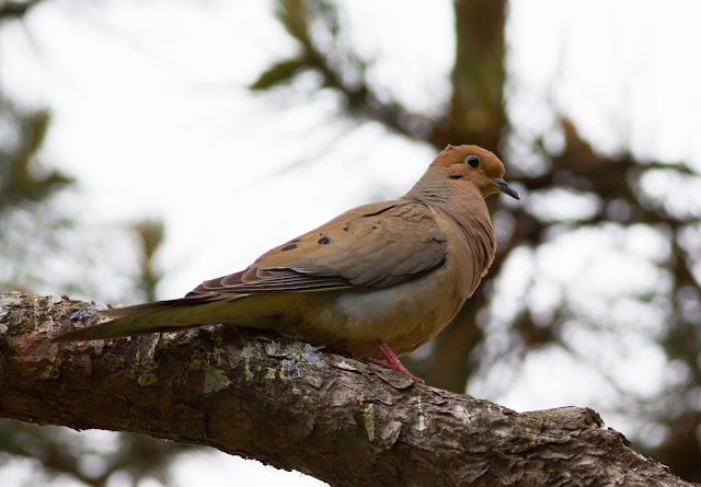 Mourning Dove - Central Park, New York