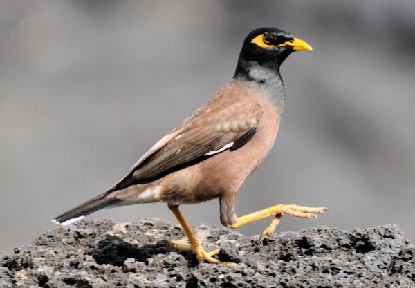 how to catch an noisy myna bird