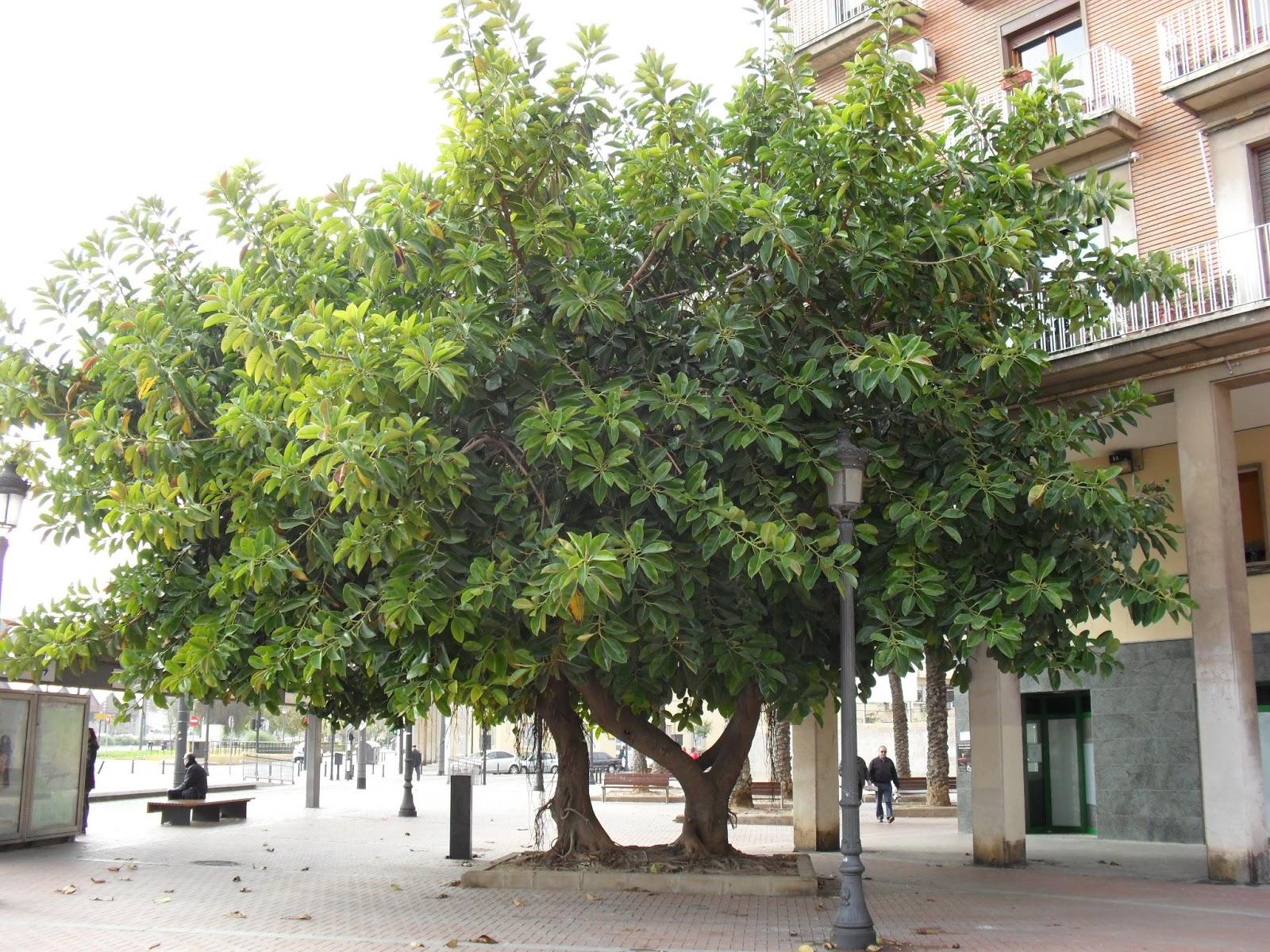 Tercera eposha arbol ficus de la plaza armada espa ola de for Arbol comun