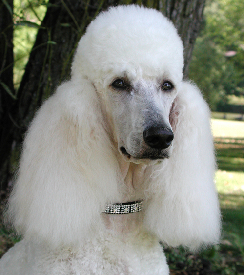 Funny Cute Little Poodle Dog