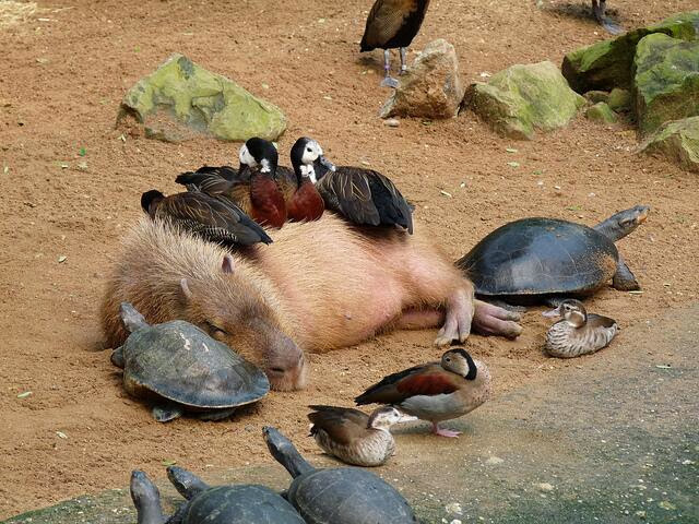 Funny animals of the week - 27 December 2013 (40 pics), ducks and turtles getting warms from capibara