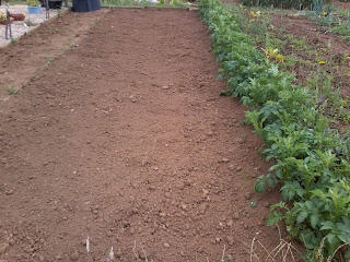 newly planted potato bed