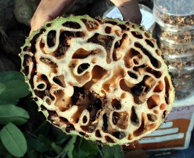 Khasiat Sarang Semut Bagi Kesehatan [ www.Bacaan.ME ]