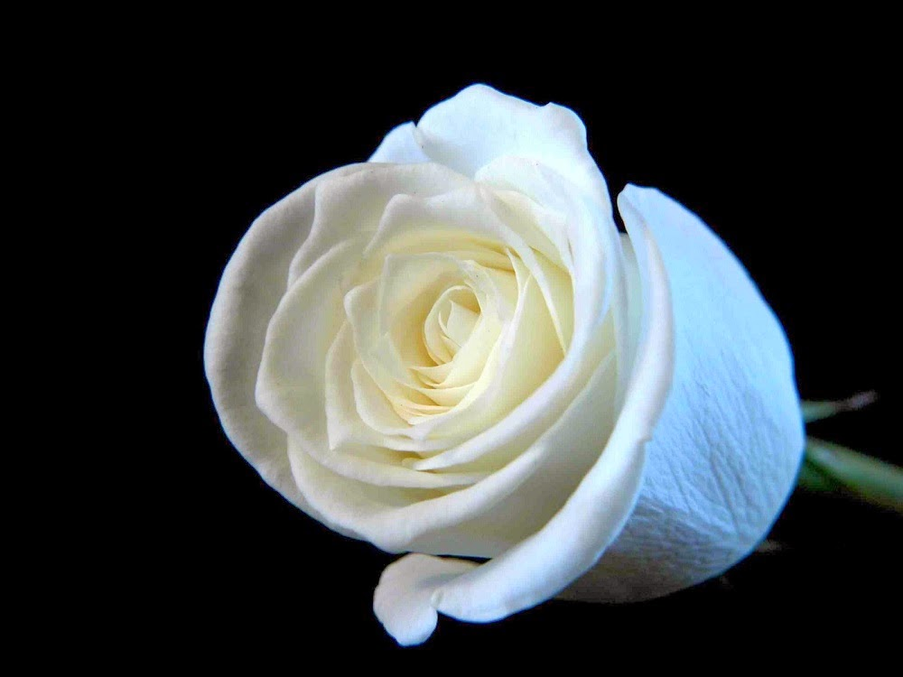 Beautiful White Roses Wallpapers Beautiful White Roses