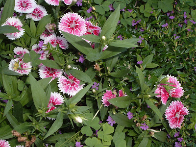 [Photo: Dianthus.]