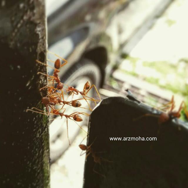 semut, rajin, bekerjasama, man jadda wa jada, arzmohadotcom, jangan malas,