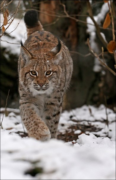 lynx forest jungle animal - photo #29
