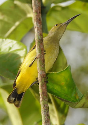 Thick-billed Spiderhunter (Arachnothera crassirostris)