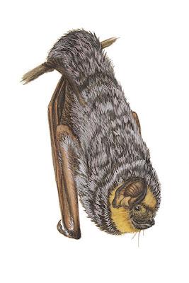 murcielago canoso de cola peluda Lasiurus cinereus
