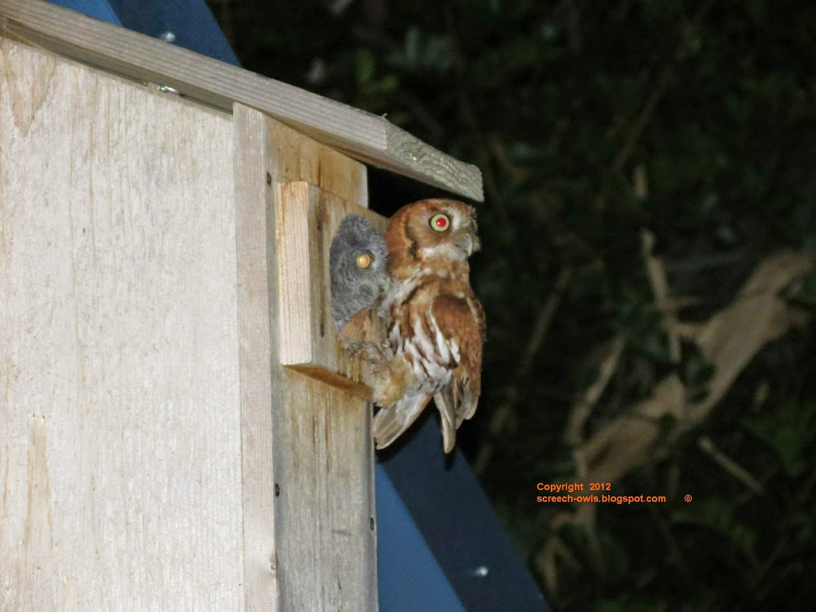 backyard birding and nature screech owl feeding frenzy