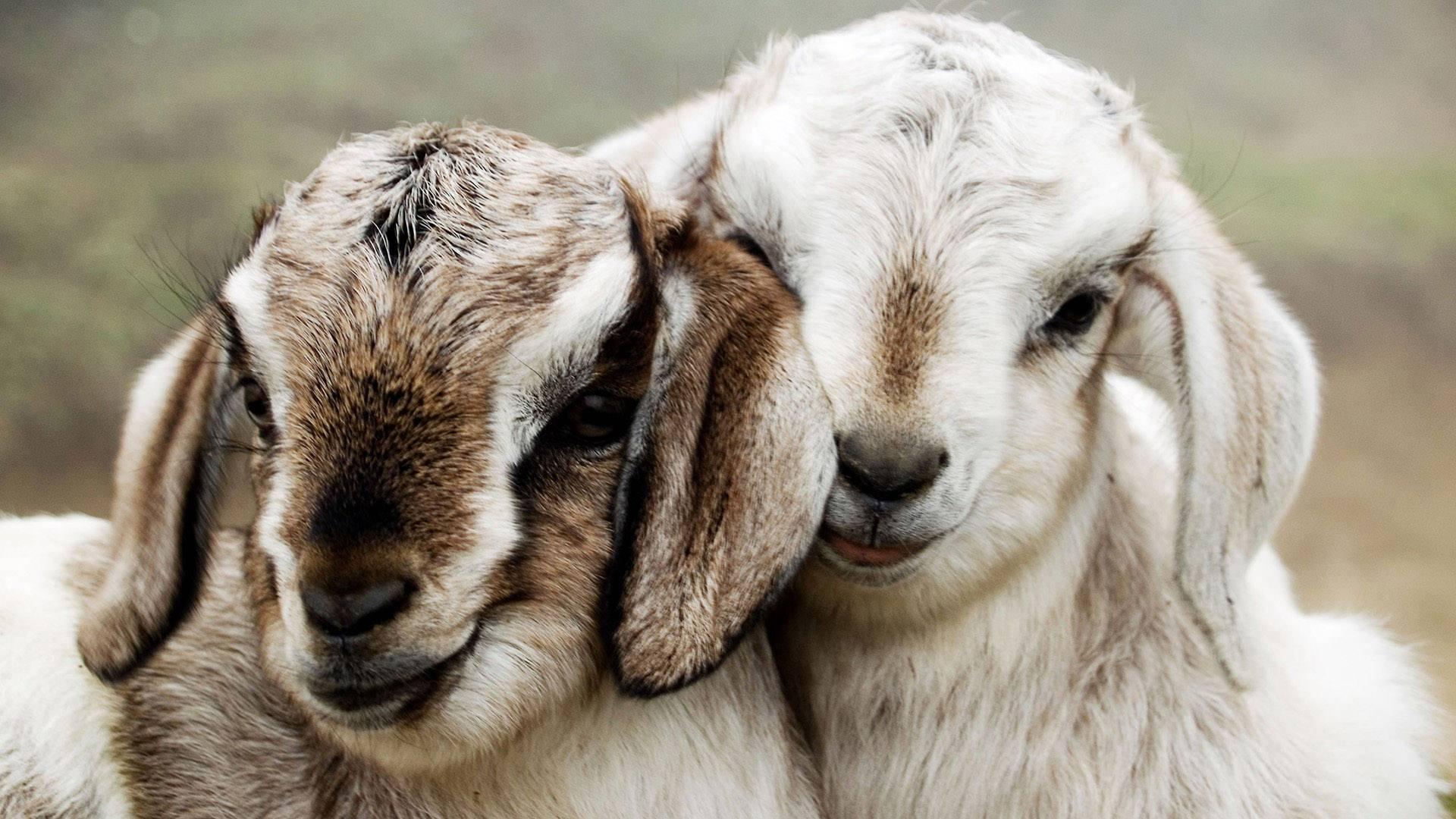 Cute lamb kids hd wallpaper