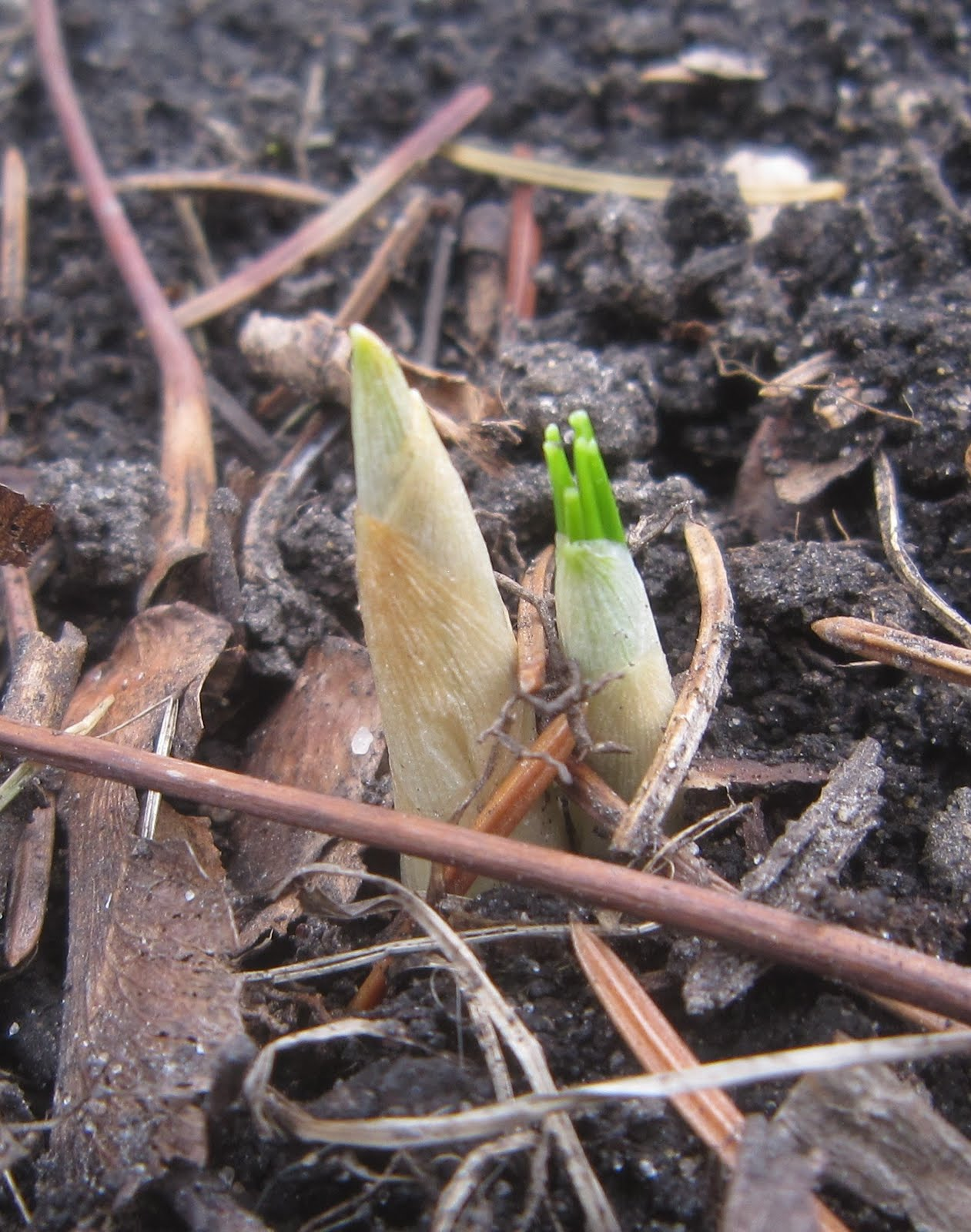 Chuck Does Art Identifying Bulbs Growing In Early Spring By Shoots