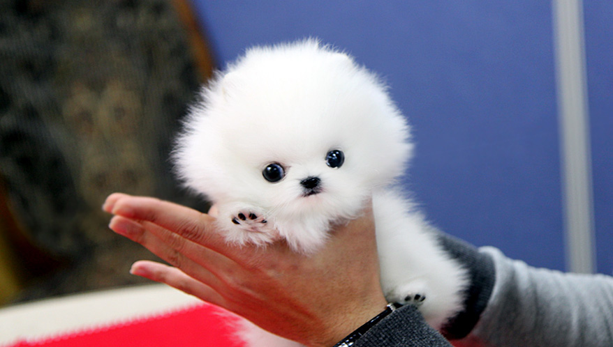 White Teacup Pomeranian Puppies Teacup pomeranian puppy