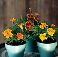 Marigolds in pots