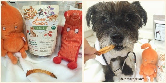 Dr. Oz the Terrier munches on Dr. Harvey's Sweet Potate'r Fries