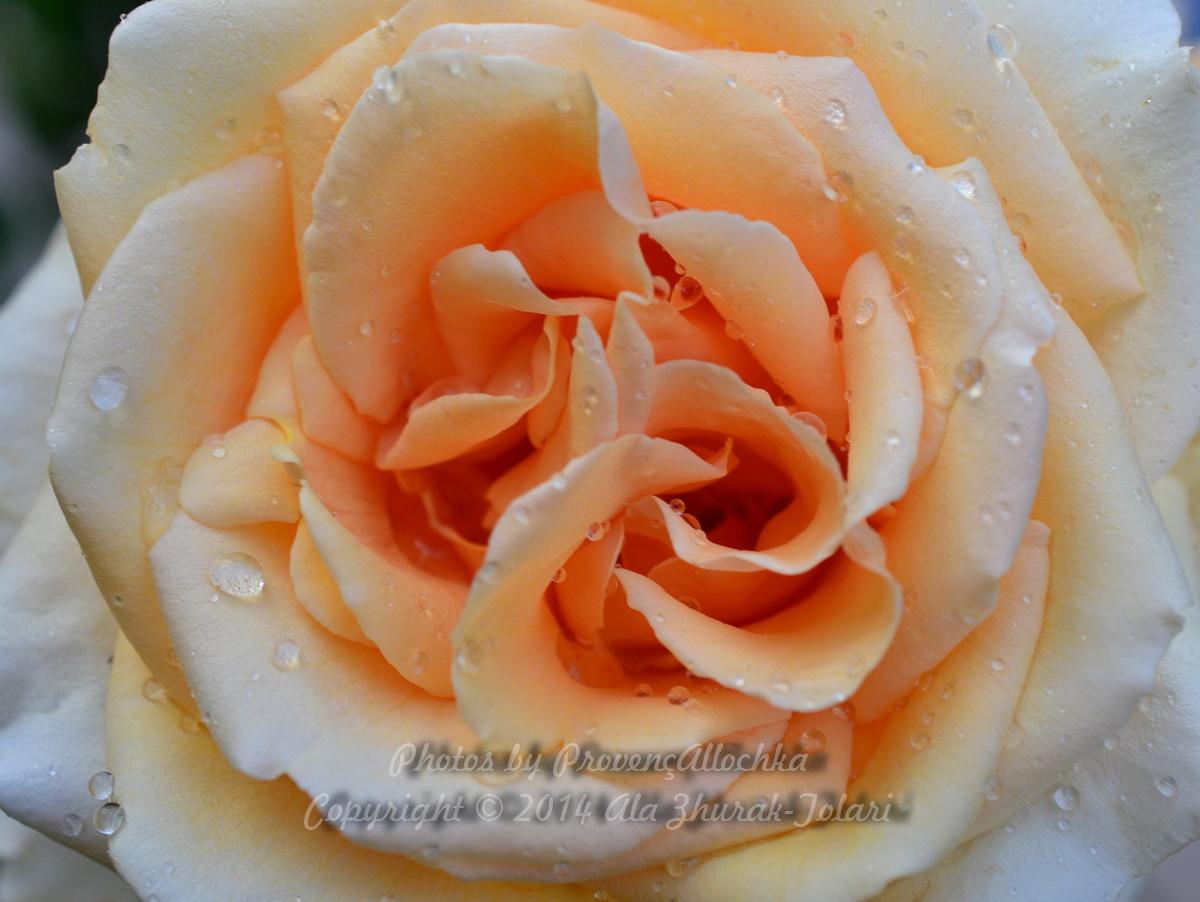 Роза валенсия фото 5