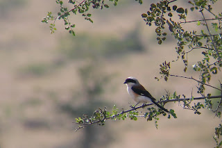 A baybacked shrike at Jayamangali Conseravation Reserve near Maidenahalli village in Tumkur district, Karnataka