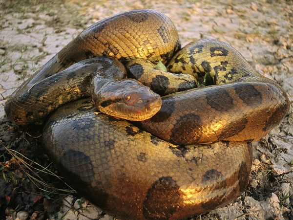 amazing green anaconda giant anaconda facts photos