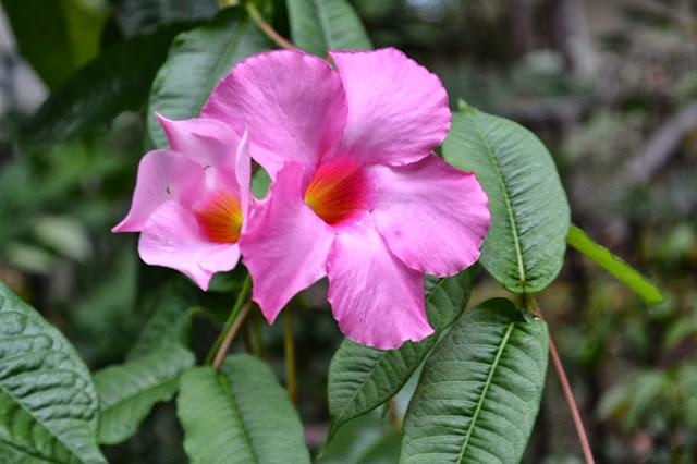 mandevilla, http://growingdays.blogspot.com