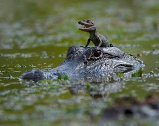 Crocodilo grande a passear crocodilo bebé