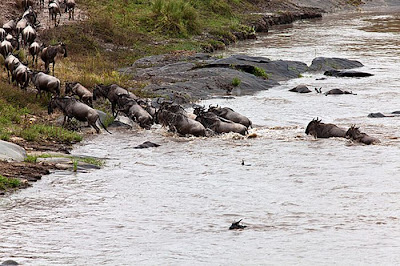 Amazing Story In Kenya Antelope Saved by a Hippo Seen On www.coolpicturegallery.us