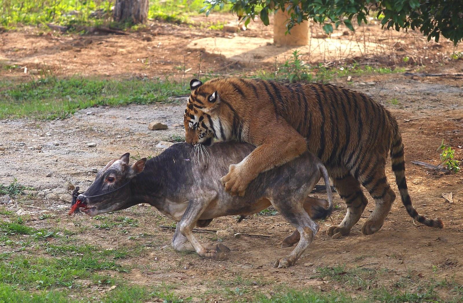 Tigers Eating Prey Tiger Eating Animal