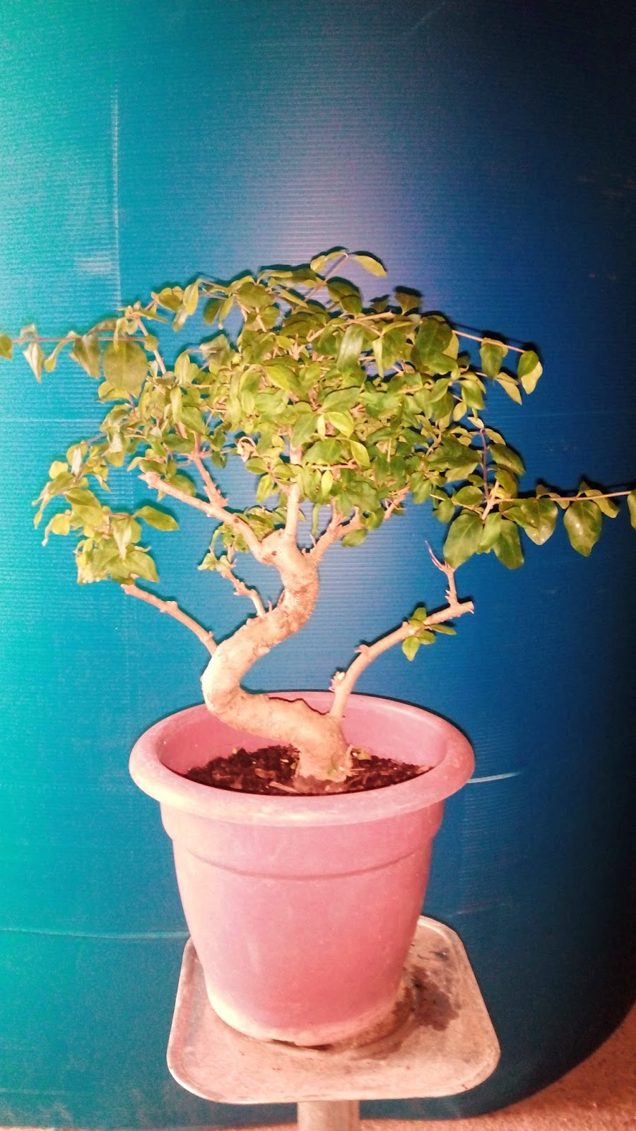 Bonsaimatias bonsai for Tierra para bonsais