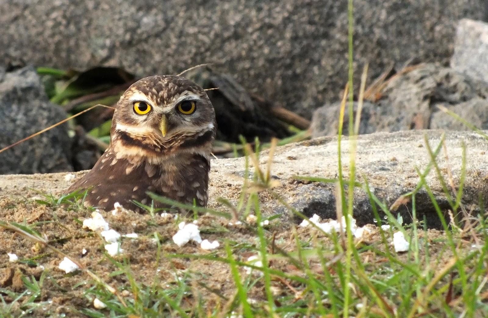 http://aprendendocomasimagens.blogspot.com/2013/11/o-ensejo-de-uma-corujinha-buraqueira.html - O olhar da sabedoria aprisiona minha admiração, busco captar não só a beleza, mas as características de uma das espécies que é simplesmente percepção.